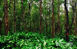 Well Demanded 52 acre land @ 25 lakh/acre in Pulinjal. Wayanad