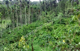 2 acre 50 cent land for sale In Koolivayal, Wayanad.